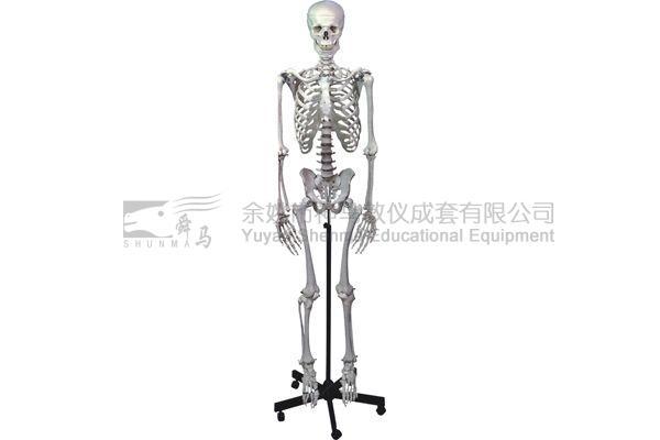 3302-5 Human skelecton model