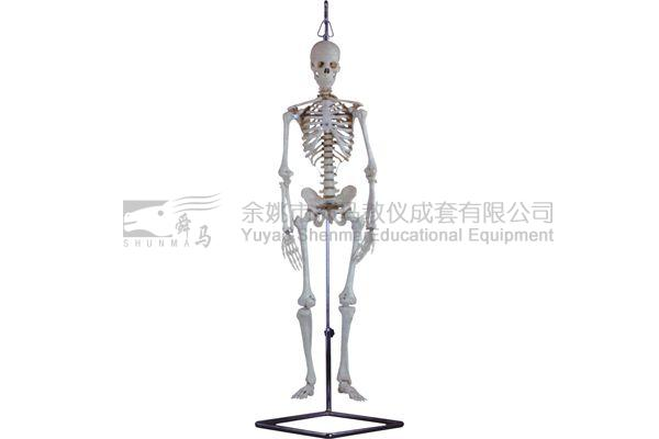 3302-4 Human skelecton model