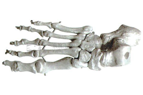 155 Foot skeletal model