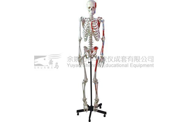 3302-3 Human skelecton model